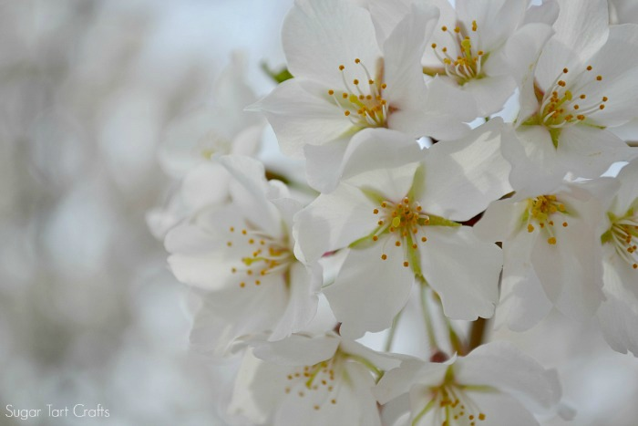 White blooms at the DC Cherry Blossom Festival